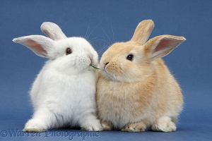 White rabbit and Sandy rabbit on blue background