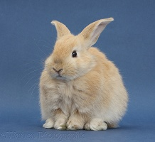 Young sandy rabbit sitting on blue background