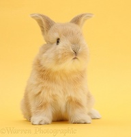 Cute sandy bunny on yellow background