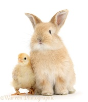 Cute sandy bunny and yellow bantam chick
