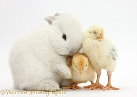 White rabbit nuzzling sleepy yellow bantam chicks