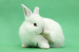White rabbit licking his hind foot on green background
