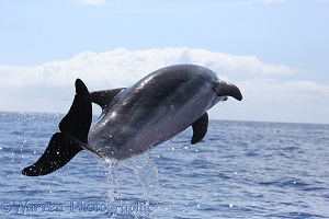 Bottle-nosed Dolphin leaping