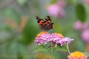 Canary Island Red Admiral Butterfly on Lantana