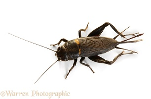 Filed Cricket