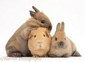 Yellow Guinea pig and brown bunnies together