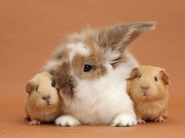 Rabbit and baby Guinea pigs