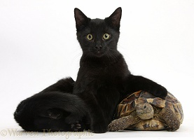 Black cat lounging on a tortoise