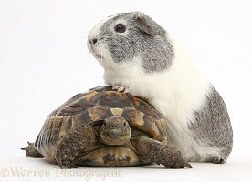 Guinea pig with feet up on a tortoise