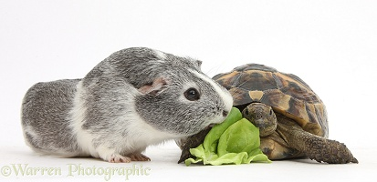 Guinea pig and tortoise sharing a lettuce leaf