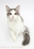 Grey-and-white cat