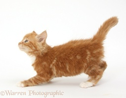 Ginger kitten about to leap