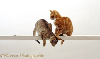 Two cats looking down from a high narrow shelf