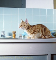 Ginger cat up by the bathroom sink