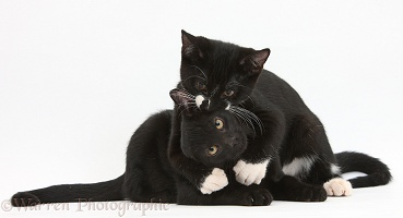 Black and black-and-white tuxedo kittens, hugging