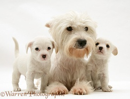 Mother Westie with Westie x Cavalier pups