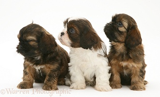Three Cavazu pups