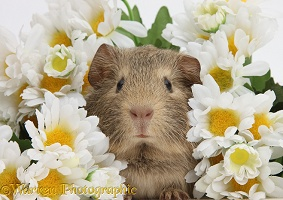 Cute baby agouti Guinea pig among daisy flowers