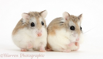 Two Roborovski Hamsters