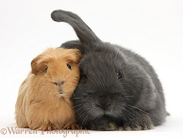 Guinea pig and bunny snuggling