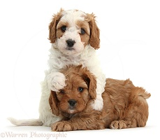 Cute Cavapoo puppies hugging