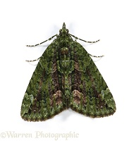 Red Green Moth