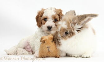 Cute Cavapoo puppy with rabbit and Guinea pig