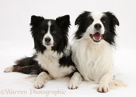 Black-and-white Border Collies