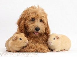 Cute Goldendoodle puppy and Guinea pigs