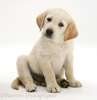 Yellow Goldador Retriever pup, sitting