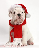 Mostly white Bulldog puppy wearing Santa hat and scarf