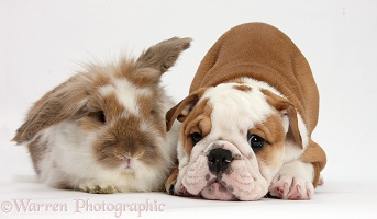Bulldog puppy and Lionhead-Lop rabbit