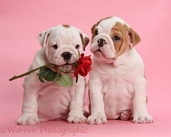 Bulldog puppies with red rose, on pink background
