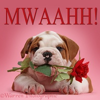 Bulldog puppy holding red rose, on pink background