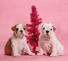 Bulldog puppies with pink Christmas tree