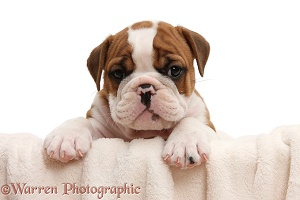Cute bulldog pup, 5 weeks old, with paws over