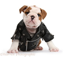 Cute bulldog pup wearing biker jacket