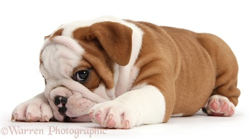 Cute bulldog pup looking coy