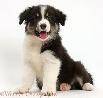 Happy tricolour Border Collie pup sitting