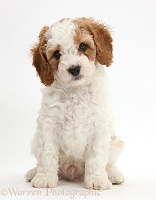 Cute Cavapoo puppy sitting