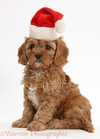 Cute Cavapoo puppy wearing Santa hat