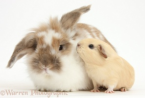 Rabbit and baby Guinea pig