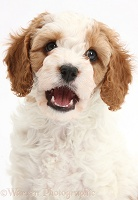 Cute Cavapoo puppy with mouth open