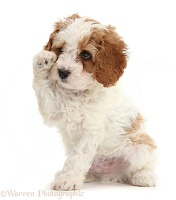 Cute tearful Cavapoo puppy