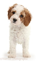 Cute Cavapoo puppy standing