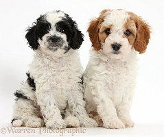 Cute Cavapoo puppies