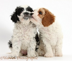 Cute Cavapoo puppies kissing