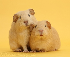 Baby yellow Guinea pigs on yellow background