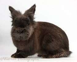 Elderly Lionhead rabbit