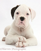 Black eared white Boxer puppy